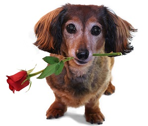 picture of a daschund with a rose in its mouth